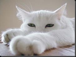 chat-blanc-patte_jpg